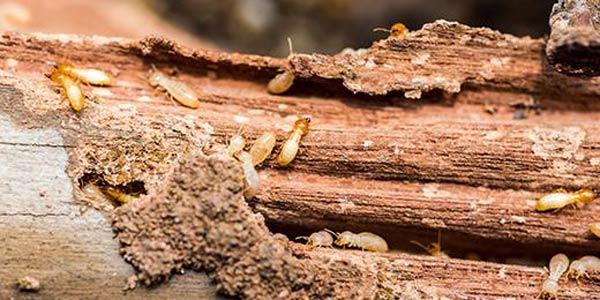 faktor biologis kerusakan kayu